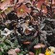 Helleborus 'Pink Frost' with euphorbia and bellis in snow