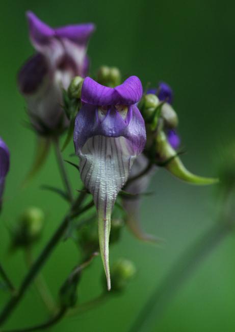 Linaria triornithophora purple