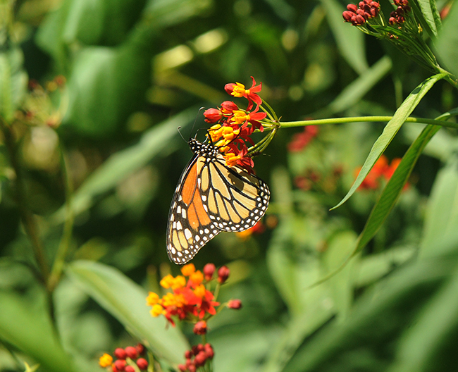 Monarch on asclepias