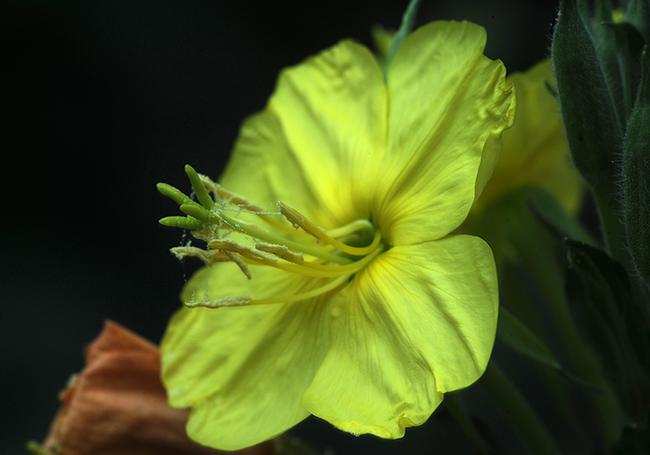 Oenothera glazoviana open