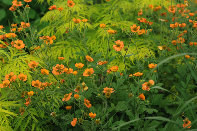 Geum 'Tangerine Dream' with Rhus 'Tiger Eye'