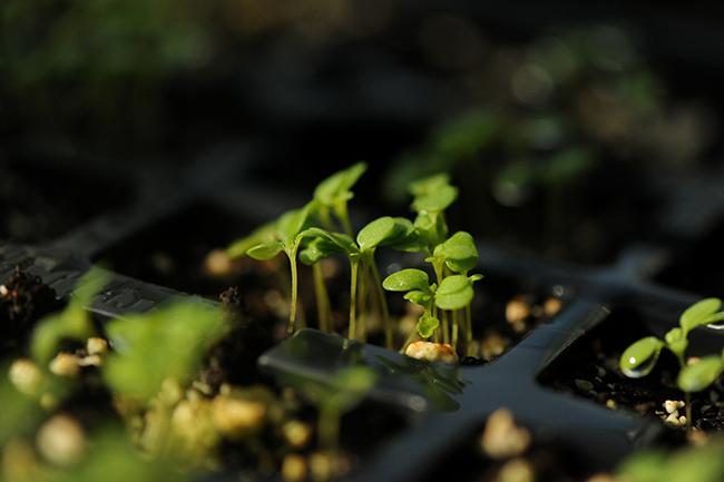 Seedlings emerging