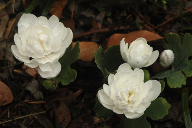 Sanguineria 'Multiplex'