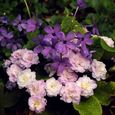 Phlox stolonifera 'Sherwood Purple' with Primula 'Pink Ice'