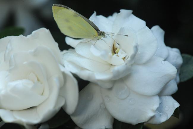 Cloudless sulphur butterfly on gardenia
