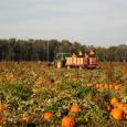 Harvesting pumpkins in Canada