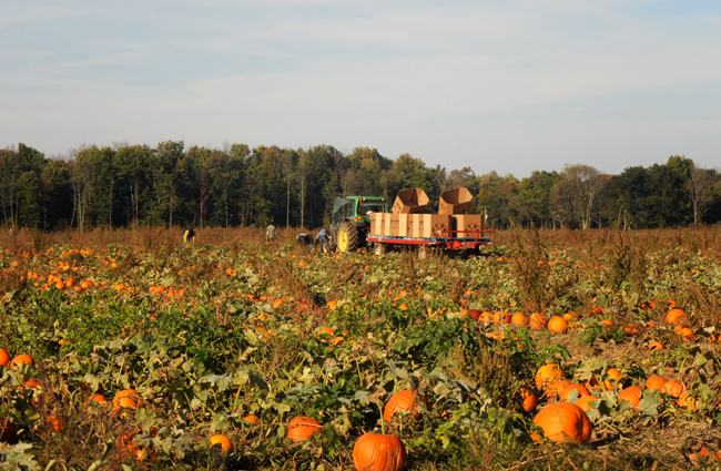 Harvesting pumpkins in Canada