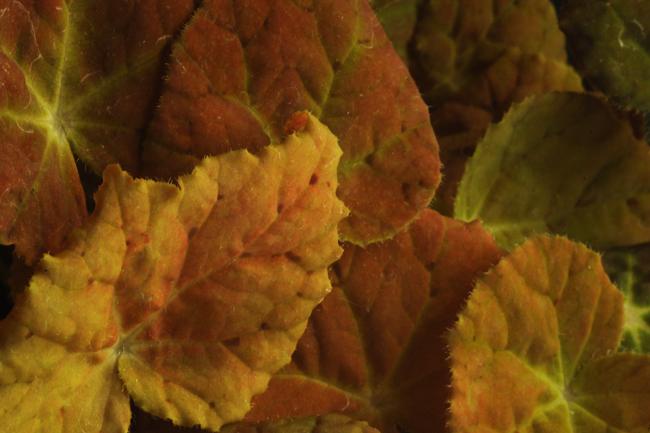 Begonia 'Autumn Ember'