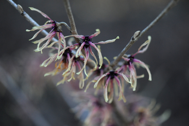 Hamamelis intermedia 'Strawberries and Cream'