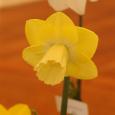 Daffodil 'Altun Ha' 1