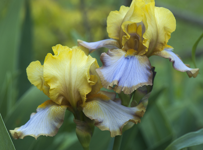 Iris bearded 'Brown Lasso'