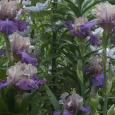 Iris 'Little John' clump