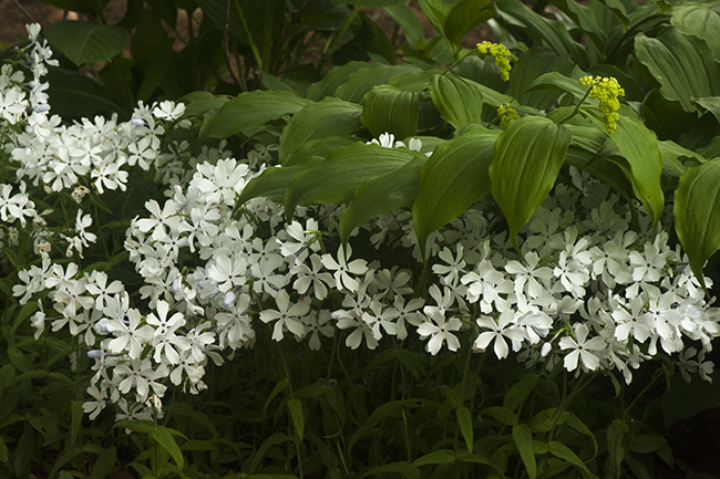 Phlox divaricata 'May Breeze' with Maianthemum racemosum