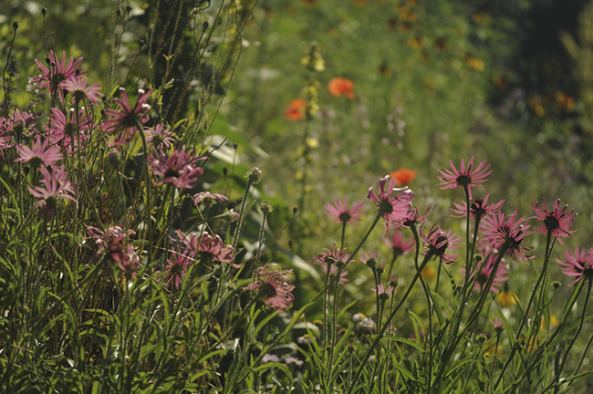 Echinacea tennesseensis with asclepias