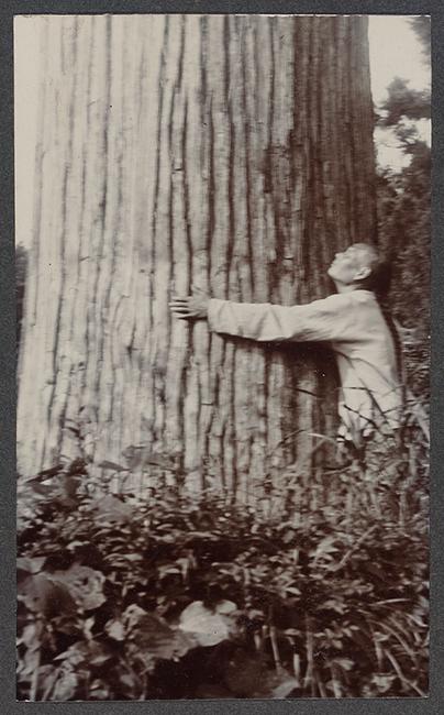Explorer Ernest Henry Wilson hugging cryptomeria