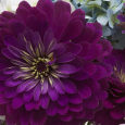 Flower arrangement with Zinnia 'Benary Giant Wine'