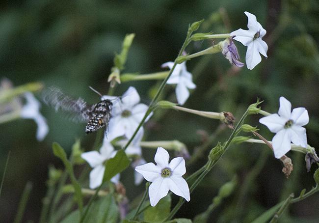 Hawk moth on Nicotiana alata