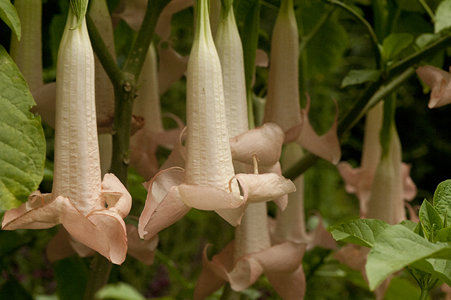 Brugmansia 'Ecuador Pink' in September