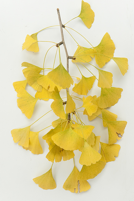 Gingko in fall