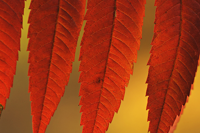 Sumac red leaves