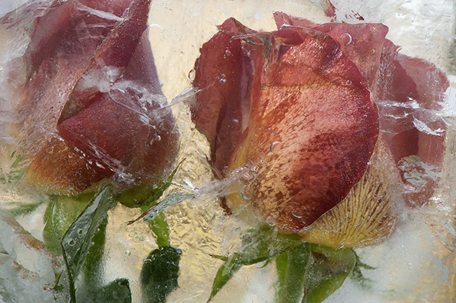 Frozen tulips 1