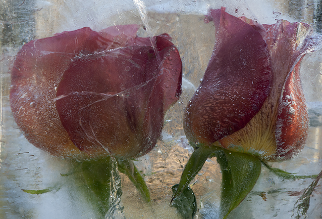 Frozen tulips