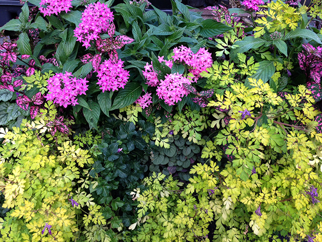 Mixed container with Corydalis 'Berry Exciting'