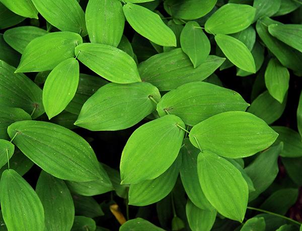 Uvularia perfoliata