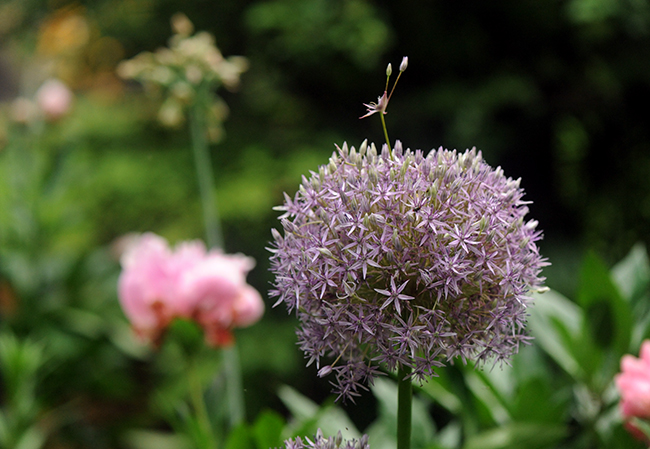 Allium 'Lucy Ball'