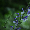 Salvia pratensis blue and white