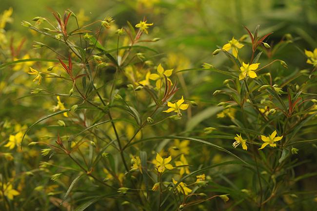 Lysimachia lanceolata var. purpurea