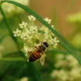 Honeybee on whorled milkweed