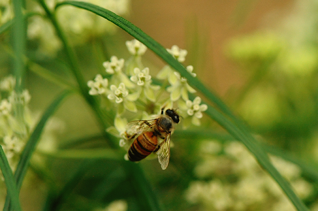 Honeybee on whorled milkweed