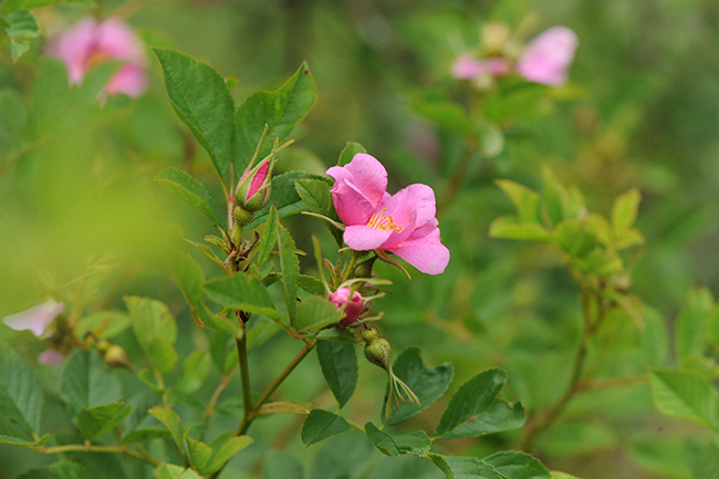 Rose palustris