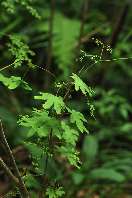 Lycopodium palmatum