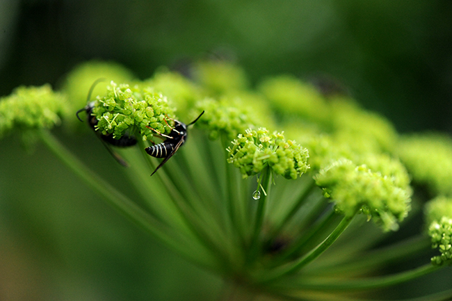 Angelica venenosa with mason wasp