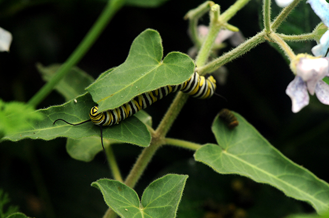 Monarch caterpillar eating tweedia