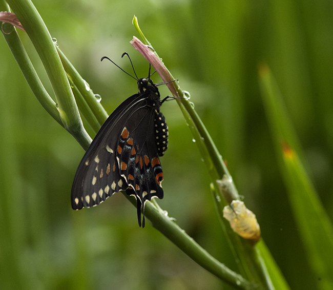 Black swallowtail butterfly newly formed