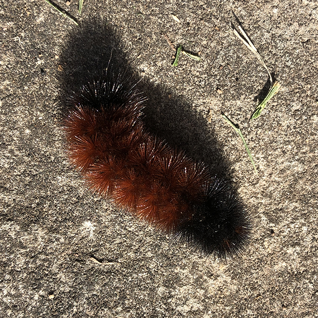 Woolly bear or Pyrrharctia isabella