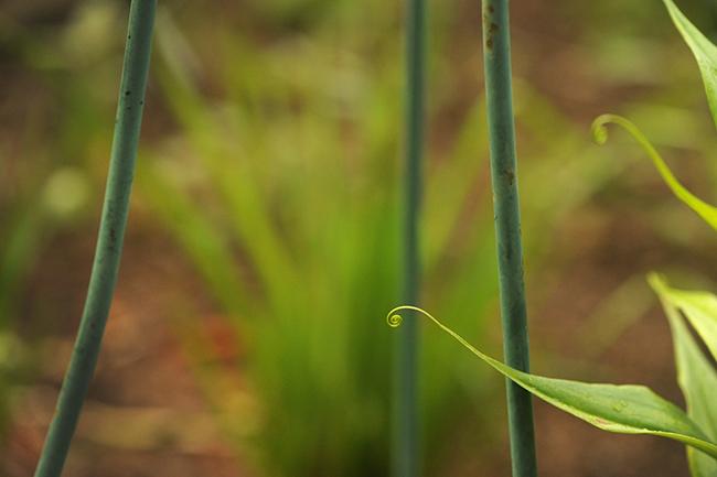 Gloriosa lily leaf tip