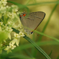 Gray hairstreak butterfly on whorled milkweed