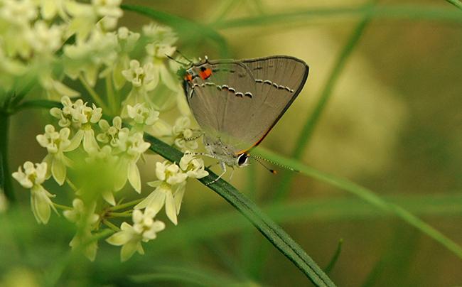 Gray hairstreak butterfly on whorled milkweed