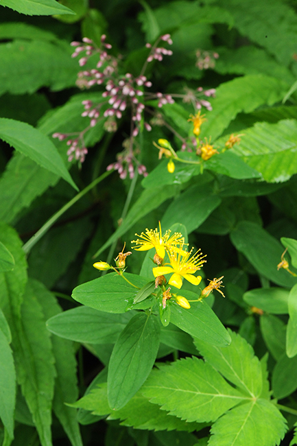 Hypericum prolificum with eupatorium
