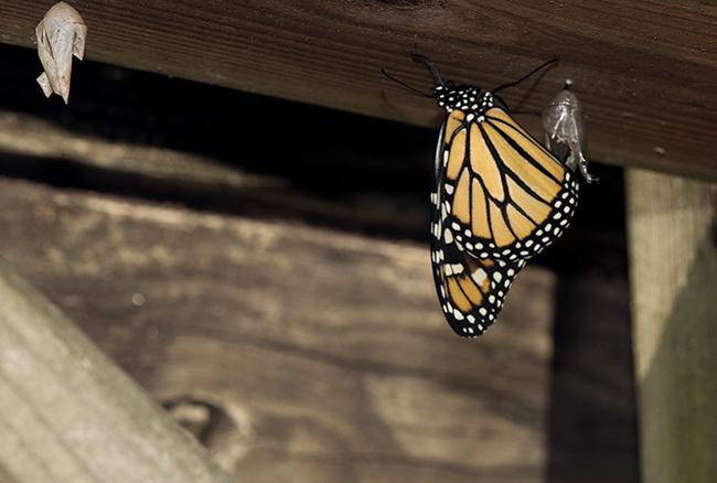 Monarch new