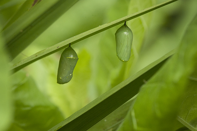 Monarch chrysalises