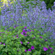 Nepeta with geranium