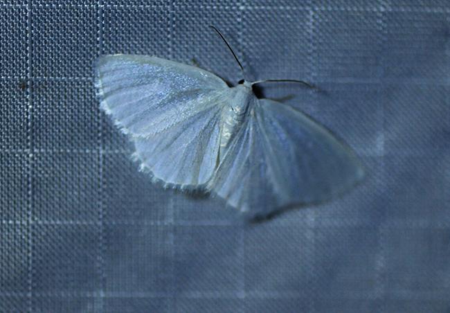 Moth white spring