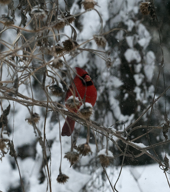 Cardinal eating tithonia seed in snow
