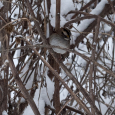 White crowned sparrow in tithonia