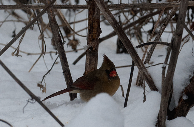 Female cardinal eating tithonia seed